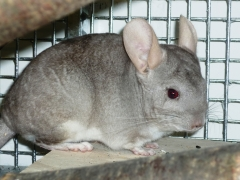 Chinchilla Patentier gross