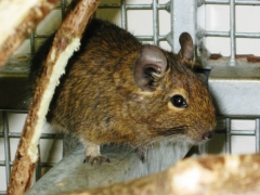 degu patentier gross